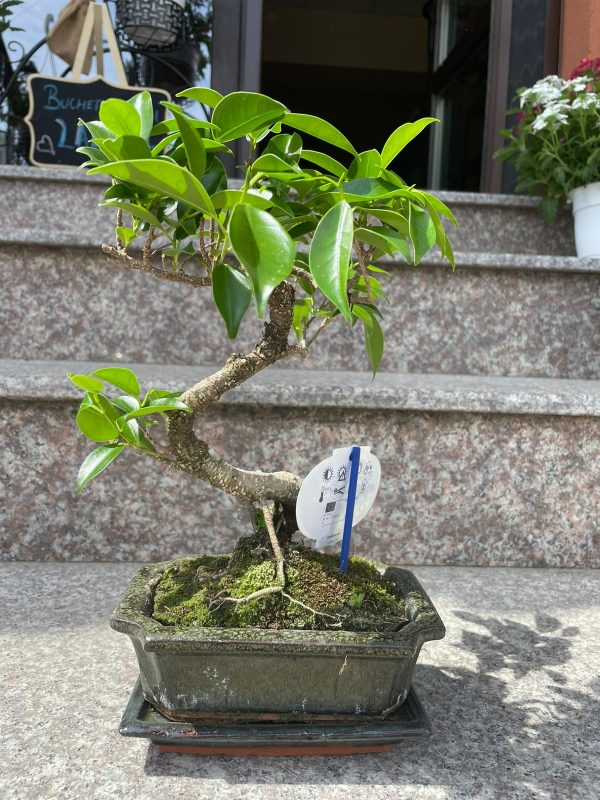 Copăcel bonsai